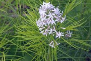 Plant of the Week: Amsonia Hubrichtii or Blue Star